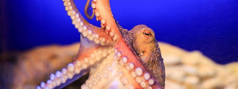 Neue Oktopus-Höhle wird im Sea Life eröffnet