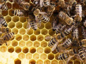 Bienen auf Bienenwaben, Foto: Herrmann Hölzl