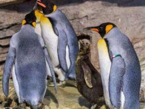 Königspinguine im Tierpark Hellabrunn