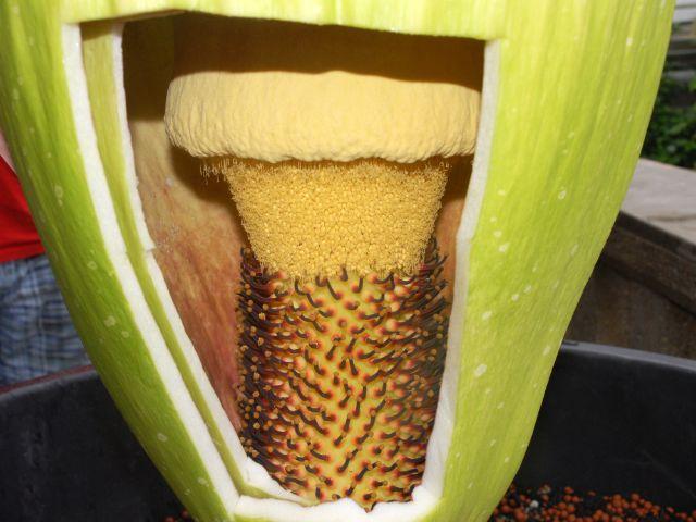 Die Titanenwurz im Botanischen Garten blüht: Ein Blick in den Innenraum, Foto: Dr. Ehrentraud Bayer, Botanischer Garten München-Nymphenburg