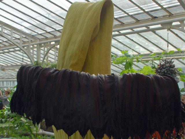 Die Titanenwurz im Botanischen Garten München., Foto: Ehrentraud Bayer, Botanischer Garten München-Nymphenburg