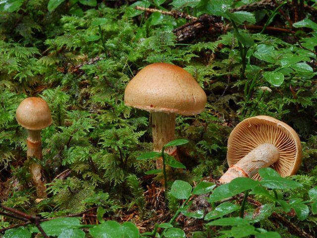 Geschmückter Gürtelfuß - Pilz, Foto: Bayerische Landesanstalt für Wald und Forstwirtschaft