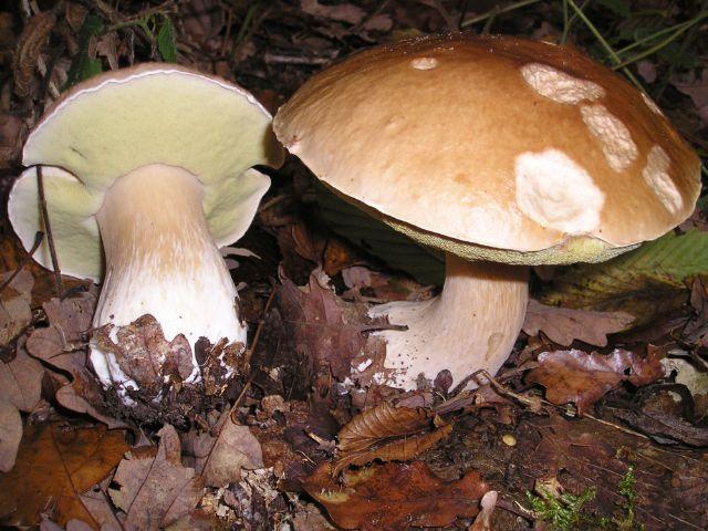 Steinpilz im Wald, Foto: Strobilomyces / Wikipeda (CC BA-SA 3.0)