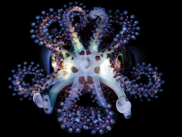Ein Zwergtintenfisch., Foto: Todd Bretl