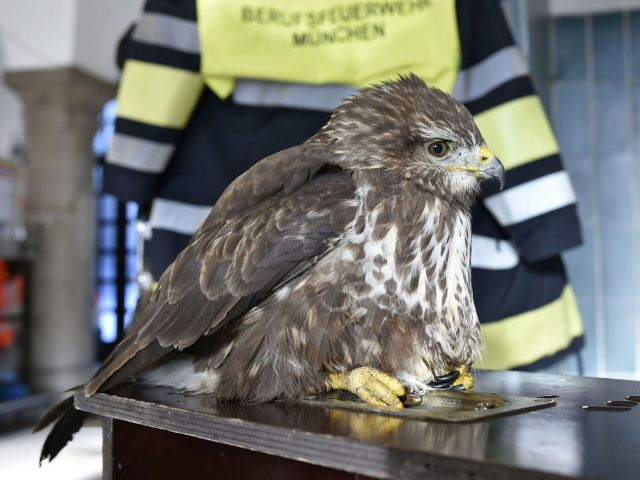 Der von der Feuerwehr gerettete Mäusebussard., Foto: Berufsfeuerwehr München