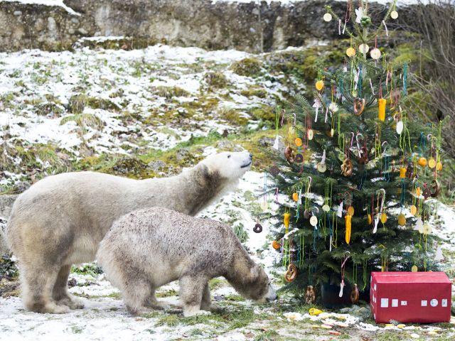Die Eisbärinnen Quintana und Giovanna und ein Weihnachtsbaum im Tierpark Hellabrunn 2017, Foto: Tierpark Hellabrunn / Marc Müller