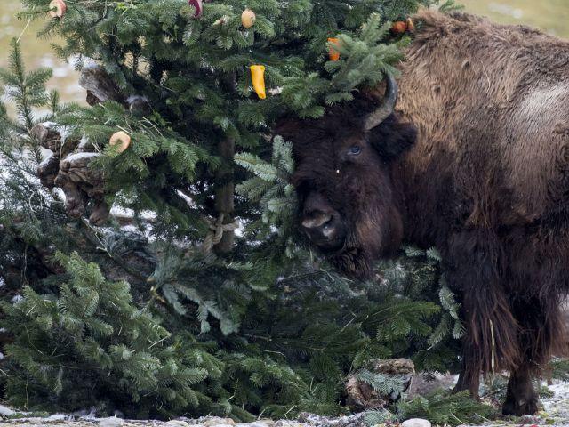 Ein Waldbison und ein Weihnachtsbaum im Tierpark Hellabrunn 2017, Foto: Tierpark Hellabrunn / Marc Müller