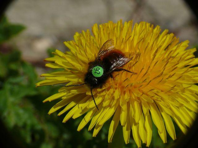 Wildbiene mit Nummer auf dem Rücken., Foto: Andreas Fleischmann, Botanische Staatssammlung München