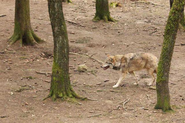 Wildpark Poing Wolf