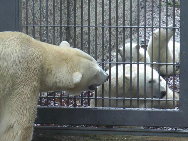 Eisbären treffen sich im Tierpark Hellabrunn, Foto: Immanuel Rahman
