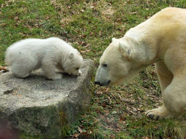 Eisbärbaby beim ersten Ausflug, Foto: muenchen.de/Immanuel Rahman
