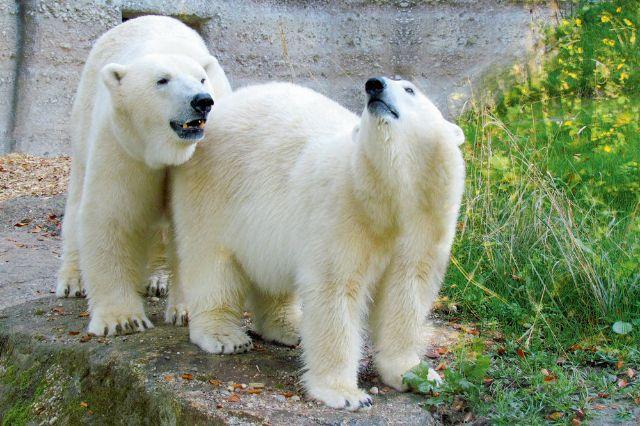 Eisbären Tierpark Hellabrunn, Foto: Tierpark Hellabrunn