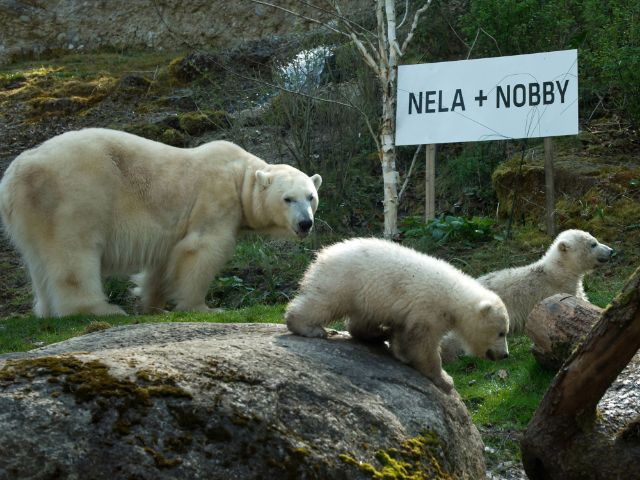 Die beiden Eisbärchen mit Mama Giovanna bei der Taufe., Foto: Tierpark Hellabrunn