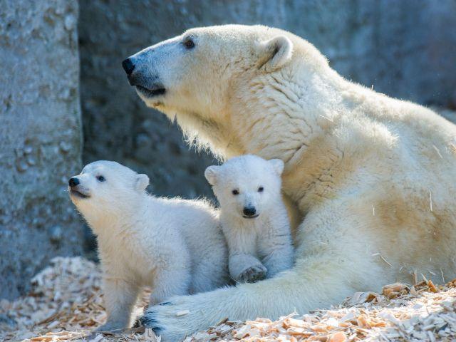 Erster Ausflug der Eisbären im Tierpark Hellabrunn, Foto: Tierpark Hellabrunn