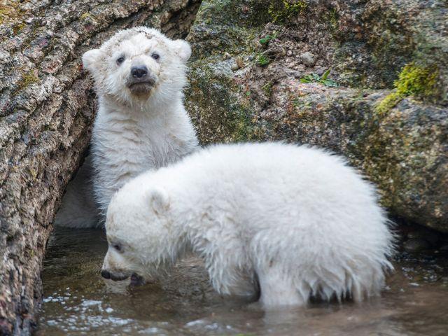 Die Eisbärenbabys toben im Wasser., Foto: Tierpark Hellabrunn