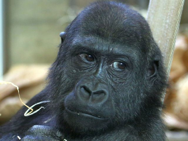 Der Gorillajunge Okanda.