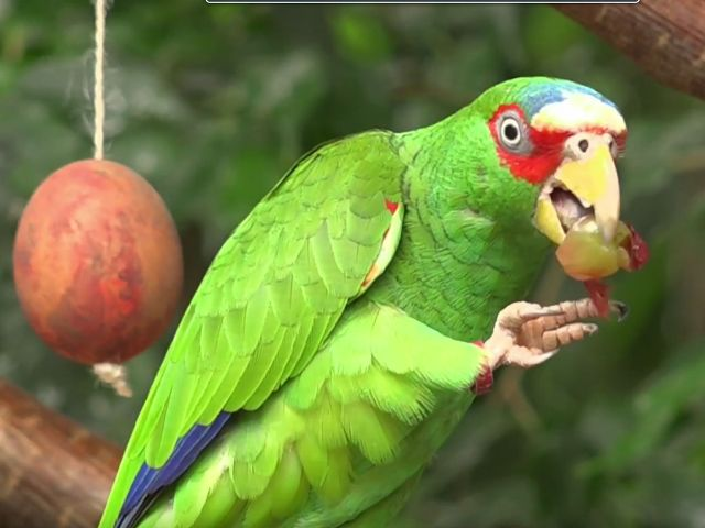Papagei mit Osterei, Foto: Immanuel Rahman
