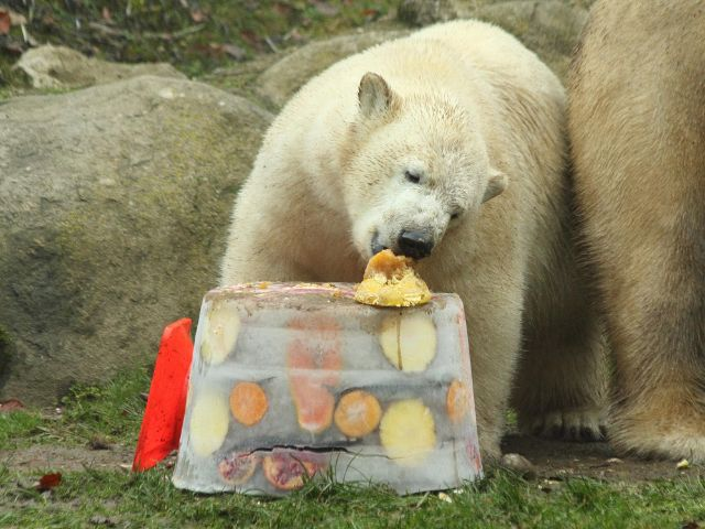 Eisbär frisst Torte, Foto: Immanuel Rahman
