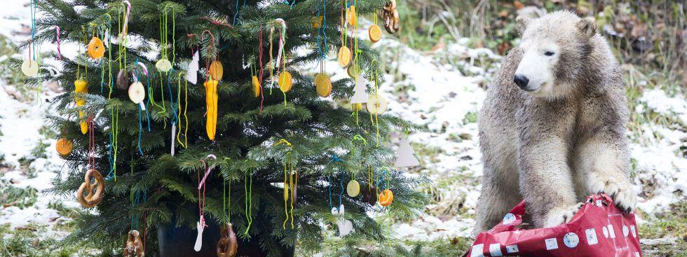 Die Eisbärin Quintana und ein Weihnachtsbaum im Tierpark Hellabrunn 2017, Foto: Tierpark Hellabrunn / Marc Müller