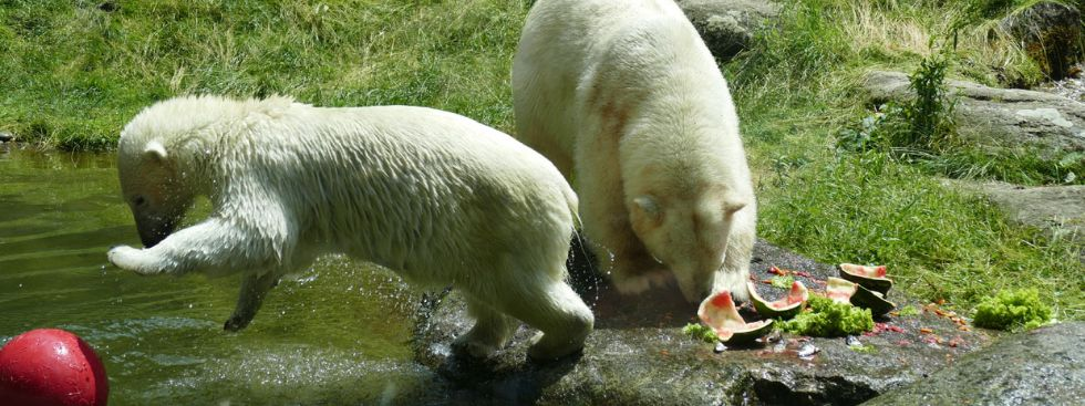 Die Eisbären in Hellabrunn., Foto: Melina Pfeffer