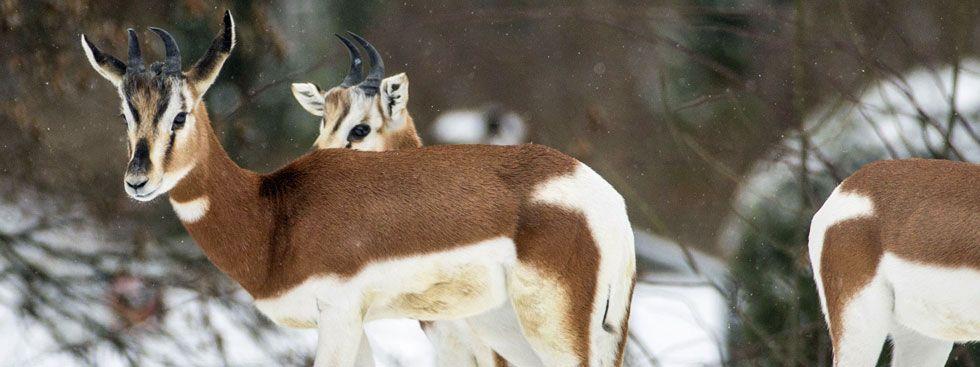 Tierpark: Mhorrgazellen im Winter, Foto: Tierpark Hellabrunn/Marc Müller