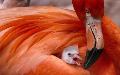 Flamingo mit Küken