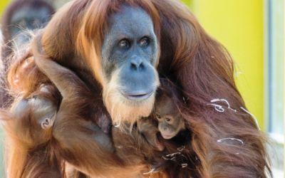 Die Hellabrunner Orang-Utan-Babys mit ihrer Mama