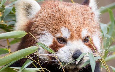 Der Rote Panda Justin in Hellabrunn