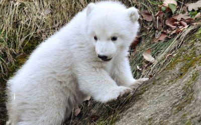 Eisbärenbaby Quintana im Tierpark Hellabrunn
