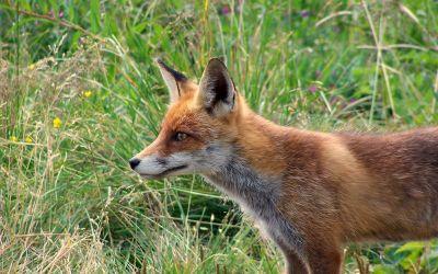 Fuchs auf Wiese