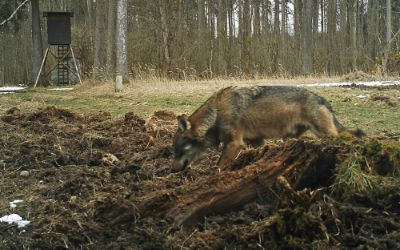 Aufnahme eines Wolfs im Landkreis Starnberg