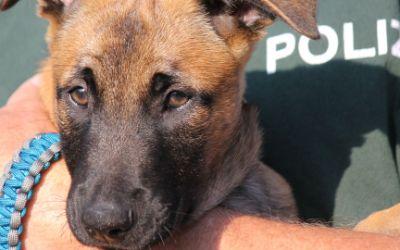 Der kleine Hundewelpe Hombre bei der Münchner Polizei