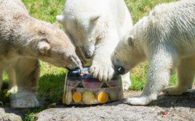 Die Eisbären genießen eine Eistorte.