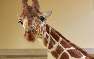 Giraffe Limber im Tierpark Hellabrunn
