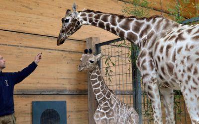 Giraffendame Kabonga neben Tierpfleger Thomas Günther