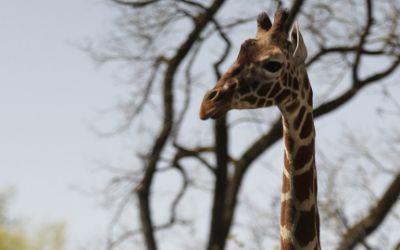 Giraffenbulle Togo im Tierpark Hellabrunn