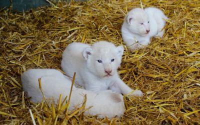 Weiße Löwen auf Stroh
