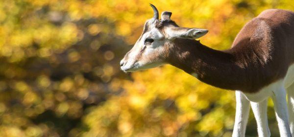 Gazelle in Hellabrunn
