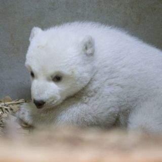 Flauschige Sensation in Hellabrunn: Neues Eisbär-Baby