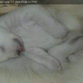 Baby-Eisbären im neuen Jahr