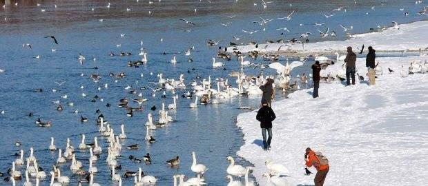 Isar mit Gänsen im Winter - Thalkirchen