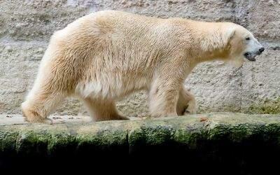 Eisbär Yoghi ist im Münchener Tierpark gestorben
