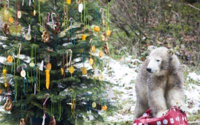 Die Eisbärin Quintana und ein Weihnachtsbaum im Tierpark Hellabrunn 2017
