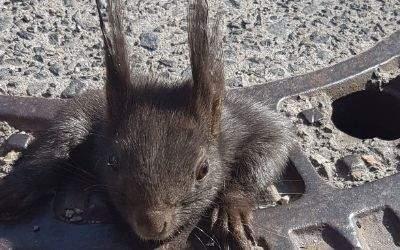Eichhörnchen Gulliver im Kanaldeckel