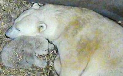 Der weibliche Eisbären-Nachwuchs in Hellabrunn.