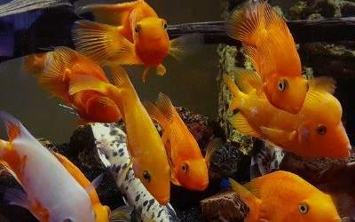 Goldfische in einem Aquarium