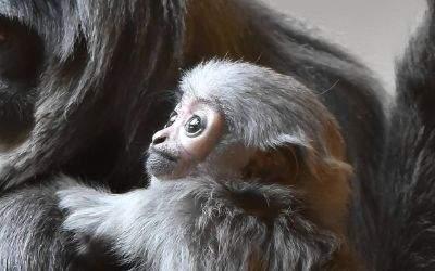 Silbergibbon mit Jungem im Tierpark Hellabrunn