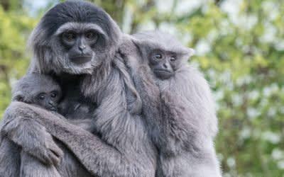 Gibbons in Hellabrunn