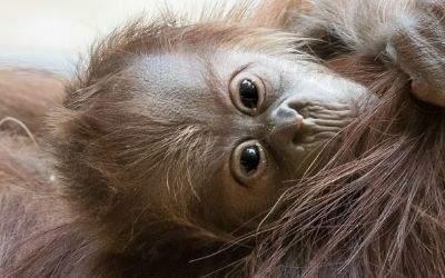 Das neue Orang-Utan-Baby im Tierpark Hellabrunn