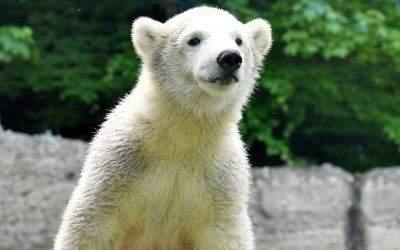 Eisbärmädchen Quintana im Tierpark Hellabrunn